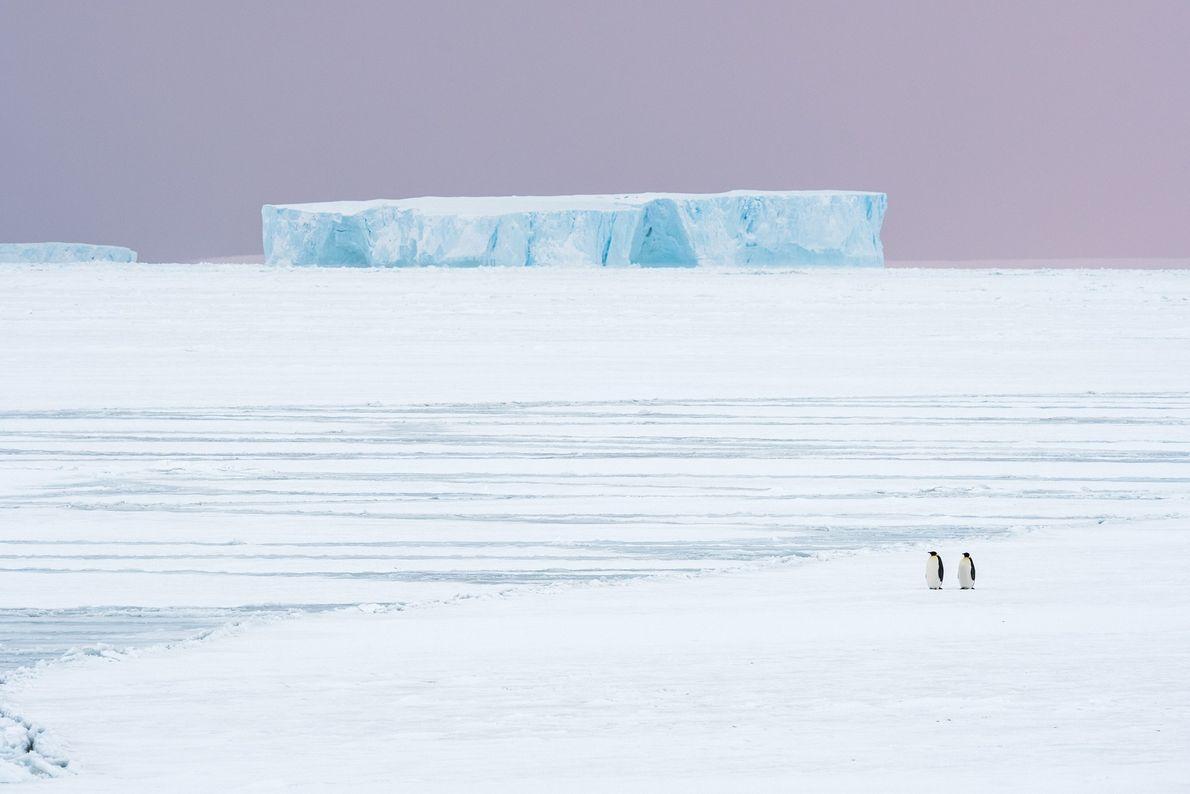 En otoño, los pingüinos emperadores comienzan su viaje de casi diez kilómetros desde el mar hasta ...