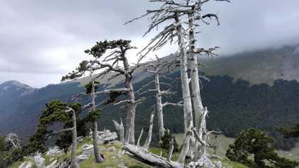 El árbol más antiguo de Europa