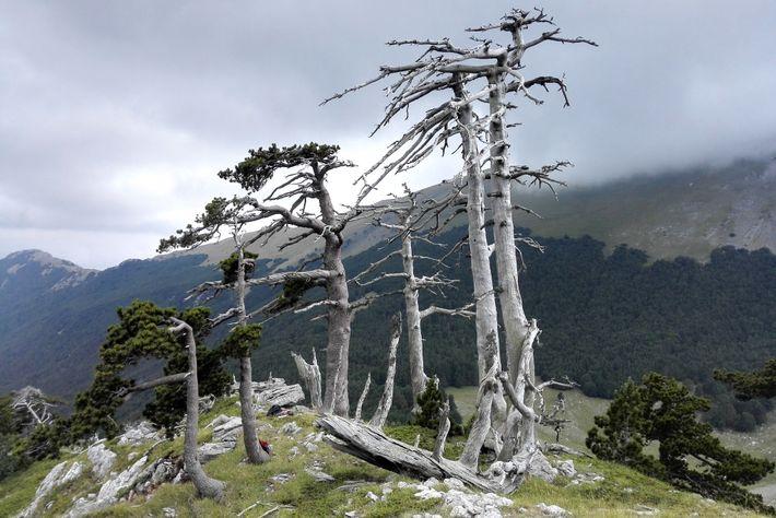 Varios pinos de los Balcanes viejos o muertos en una montaña del parque nacional de Pollino, ...