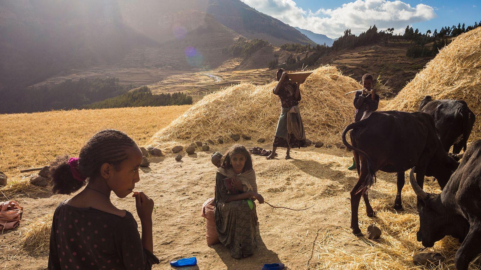 Usando herramientas manuales y animales de tracción, una familia cosecha trigo en las tierras altas propensas ...