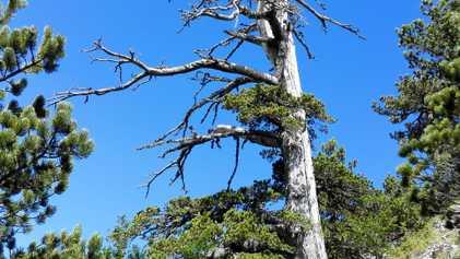 Descubren el árbol más antiguo de Europa