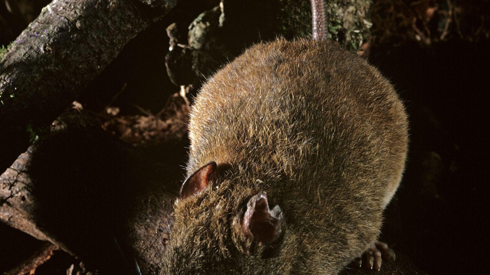 Esta especie de melomys está relacionada con una que, según los científicos, se ha extinguido en ...