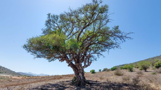 Una especie de árbol de mezquite de Sudamérica está creciendo como un incendio forestal en Marruecos ...