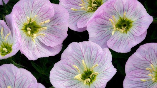"""Las flores pueden """"escuchar"""" a las abejas zumbando y hacer que su néctar sea más dulce"""