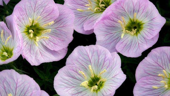 Las flores en forma de cuenco de onagra pueden ser clave para sus capacidades acústicas.