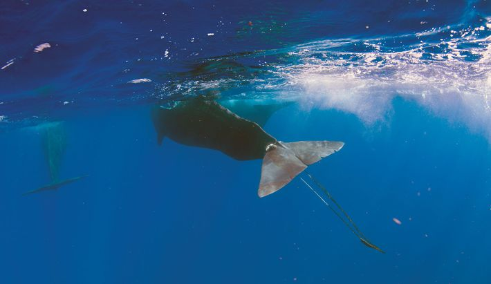 Digit casi muere en su terrible experiencia. Muchos otros mamíferos marinos no sobreviven a sus encuentros ...