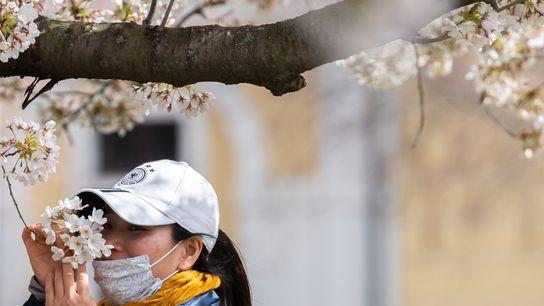 Una mujer con barbijo huele las flores de un cerezo a orillas del río Elbe en ...