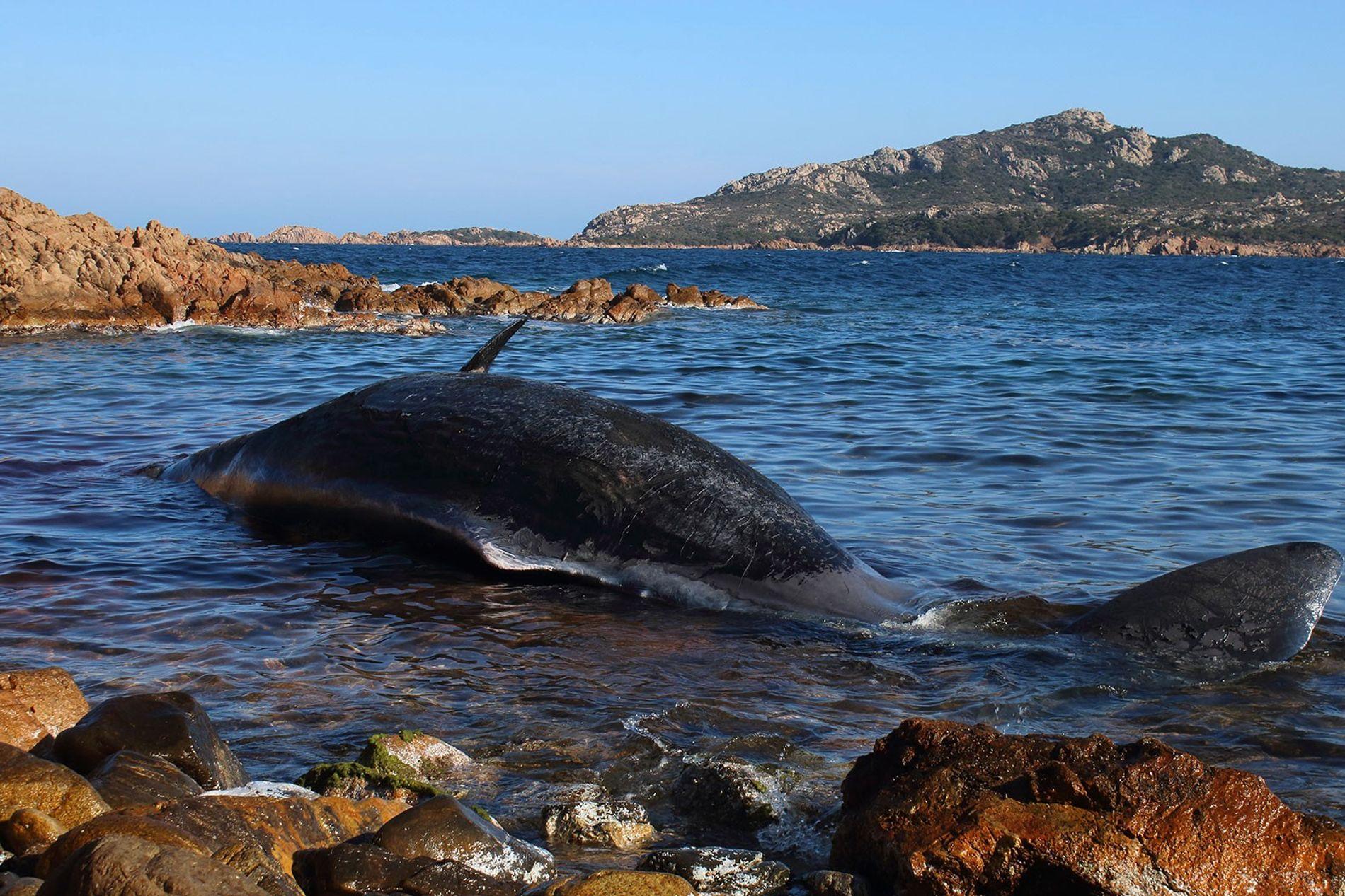 Una hembra de cachalote embarazada apareció muerta en una playa de Cerdeña, Italia. Tenía el estómago ...