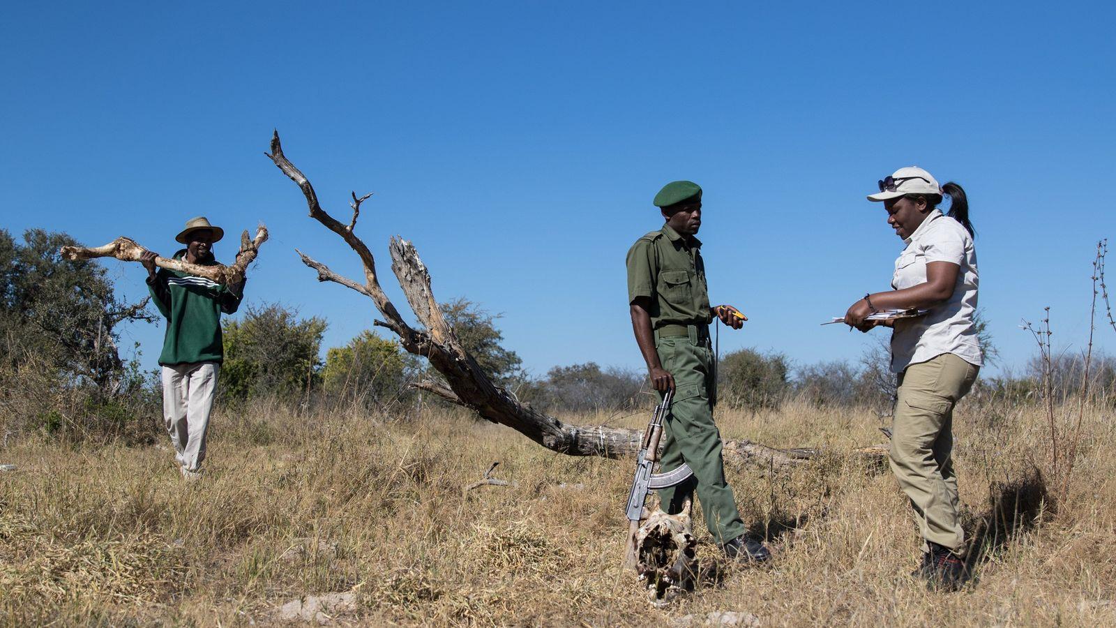 La conservacionista Moreangels Mbizah (derecha) obtiene datos y toma nota en el lugar donde se produjo ...