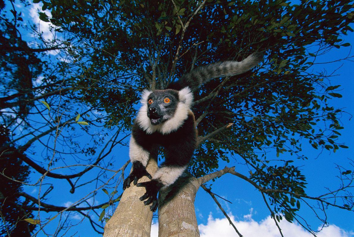 Lemur Rufo