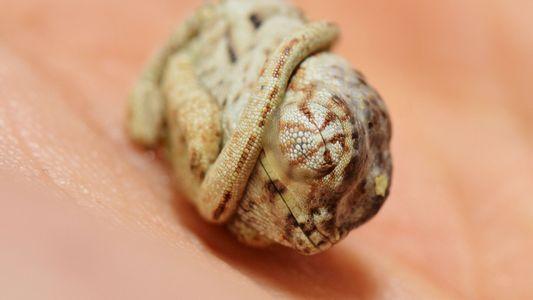 Imágenes asombrosas: cría de camaleón no sabe que rompió el cascarón