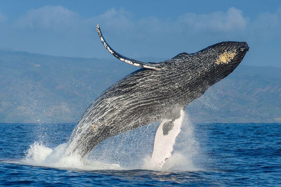 Una ballena jorobada emerge en el aire sobre el Océano Pacífico.