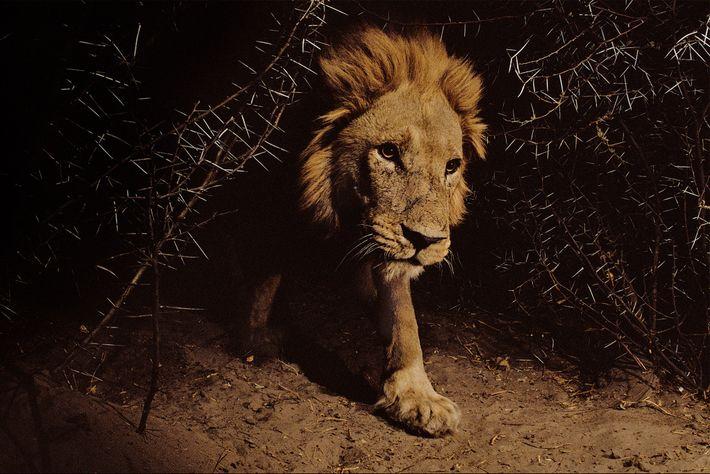 Un león vaga por el Parque Nacional de Chobe, un área de conservación de vida silvestre ...