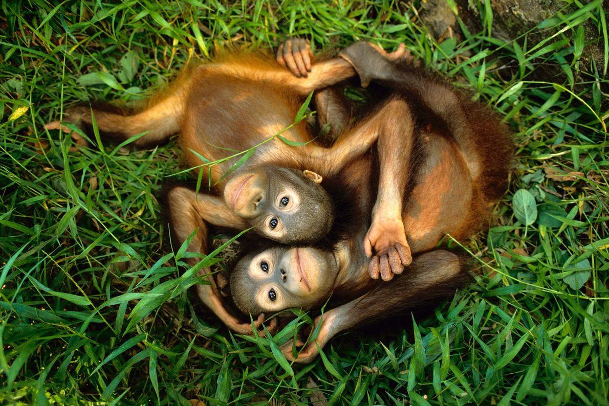 Orangutanes de Borneo huérfanos juegan sobre el pasto en el Centro de Rehabilitación de Orangutanes de ...