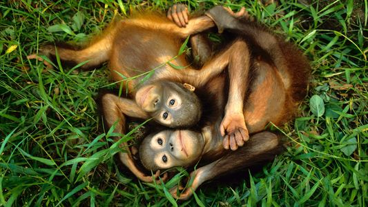Fotografías de hermosos orangutanes en peligro