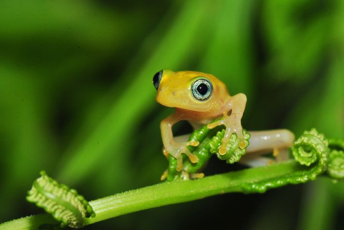 Una joven rana de árbol (Boophis sp.) descansa en las hojas de un helecho. Jonathan Kolby, ...