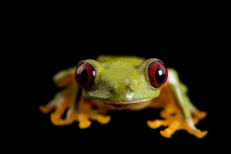 """Una rana """"Agalychnis litodryas"""" en la Universidad Católica de Ecuador."""