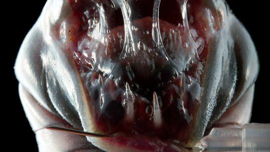 Un espécimen de museo de Caecilia pachynema revela sus tres hileras de dientes.