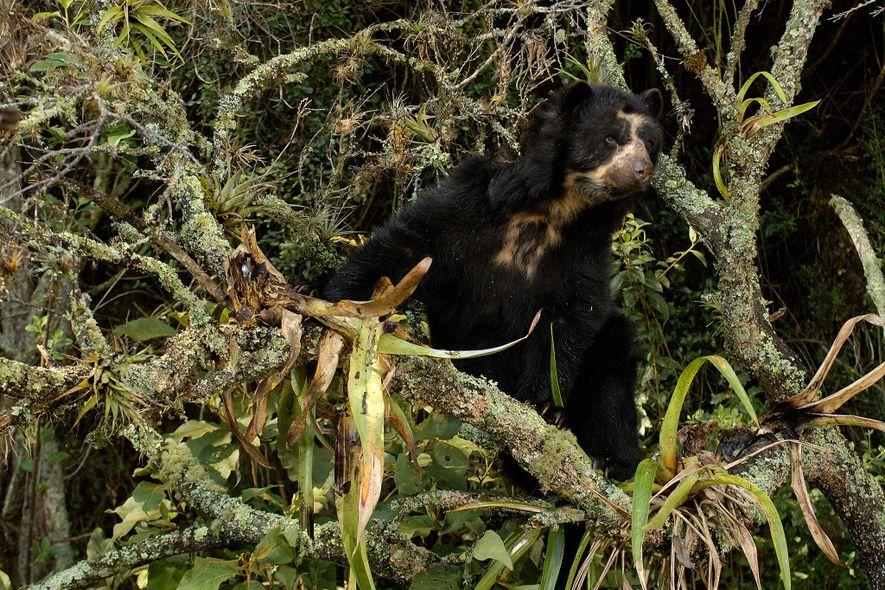 """Los osos andinos son considerados """"vulnerables"""" en todo su rango en América del Sur. La caza ..."""