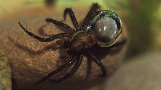Una araña de agua transporta aire atrapado en su abdomen, lo que le da una apariencia ...
