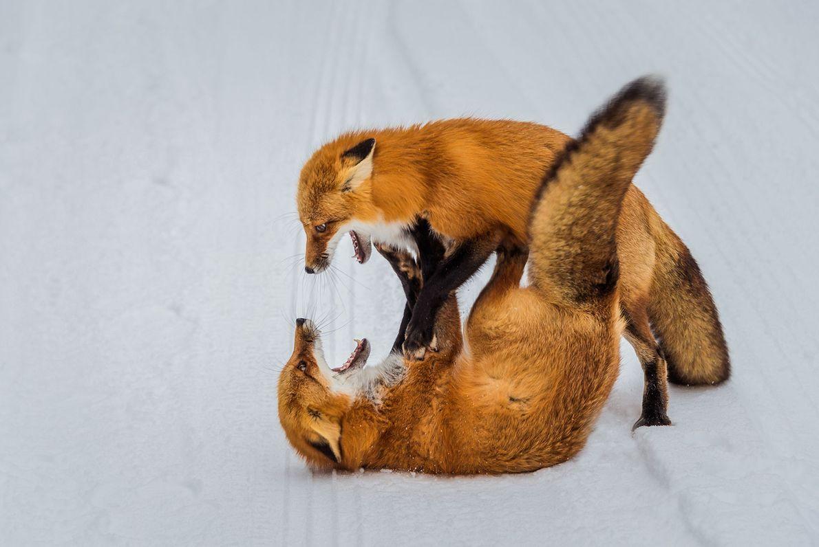 Zorros rojos pelean en la región de Ontario atrapada por la nieve.