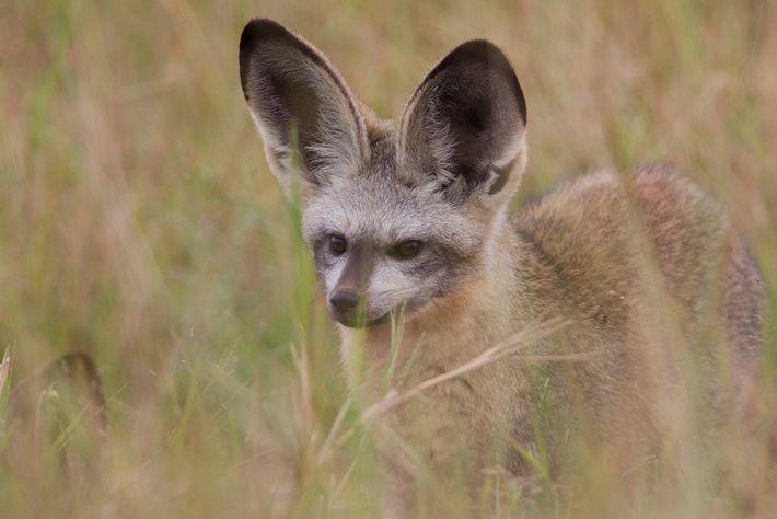 Un zorro de orejas de murciélago se asoma desde la hierba en el Parque Nacional Hwange, ...