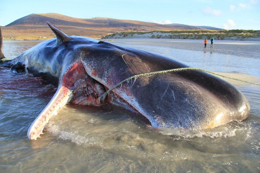 En noviembre de 2019, un joven cachalote fue encontrado muerto en una playa en la isla ...