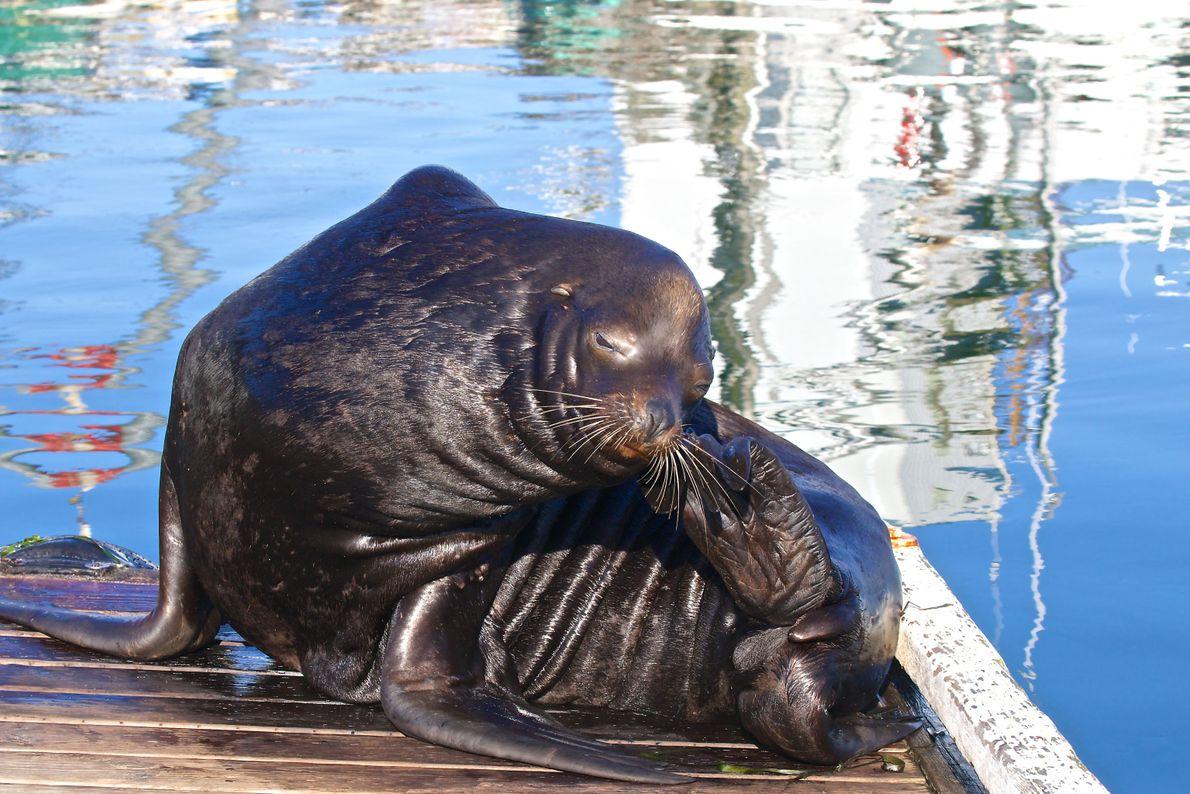 Lobo marino. Tofino, Columbia Británica, Canadá.