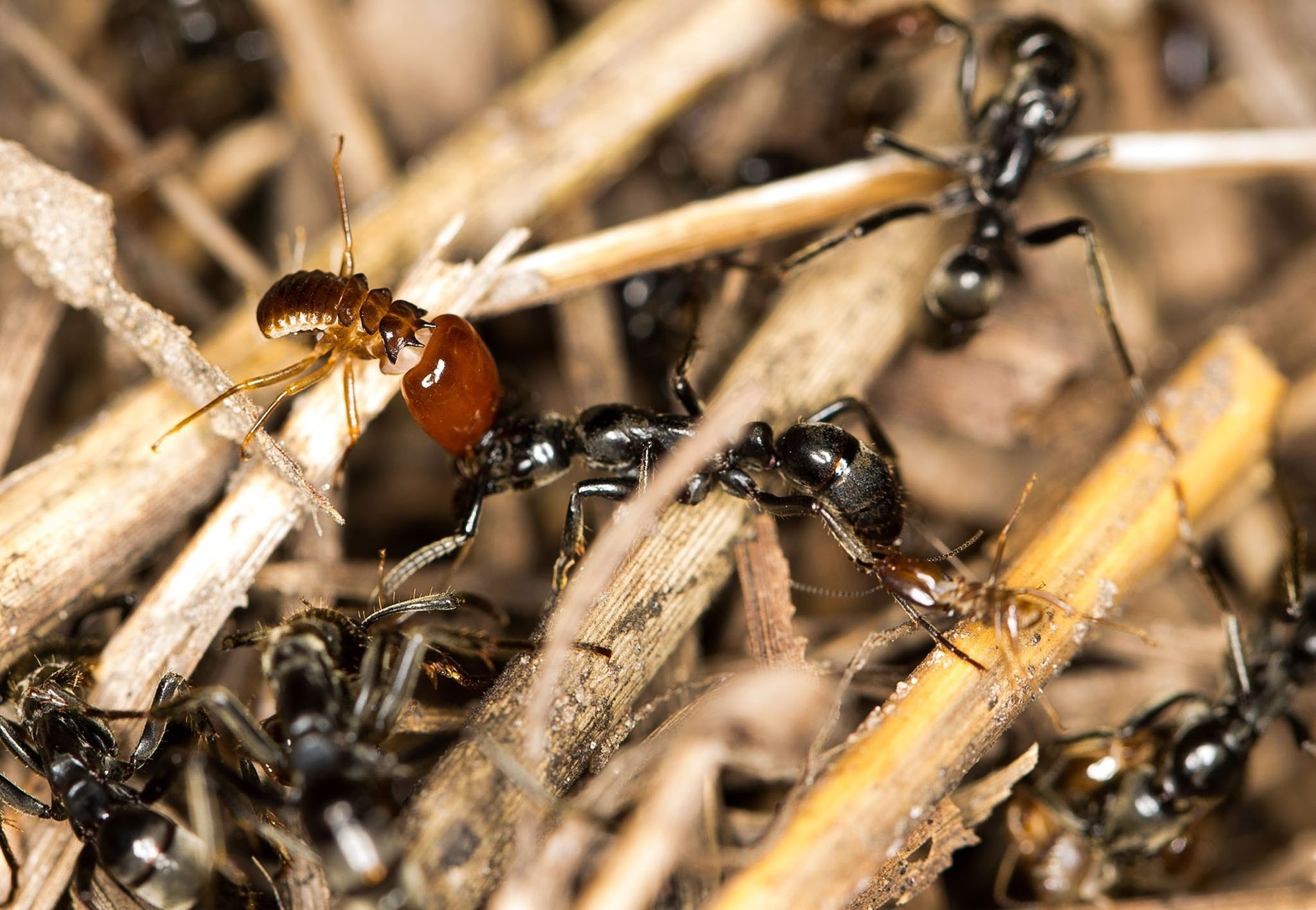 The ant in the middle has termite soldiers clinging to its head and hind leg during ...