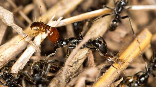 """Las hormigas """"paramédico"""" rescatan y curan a sus compañeras heridas"""