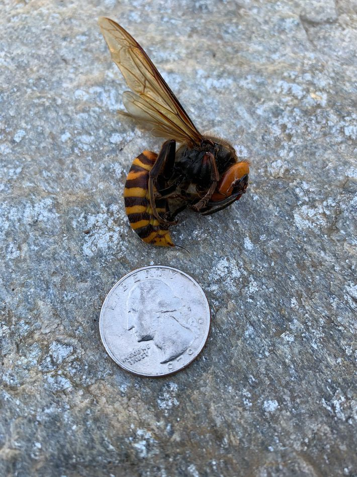 Un avispón gigante asiático descubierto el 27 de mayo en una ruta cerca de Custer, Washington. ...