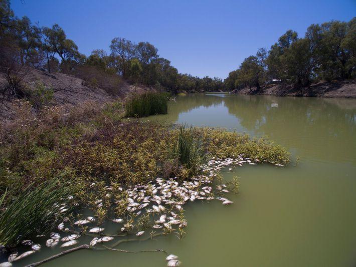 Los incendios forestales provocaron la muerte de esta gran cantidad de peces en el río Darling ...