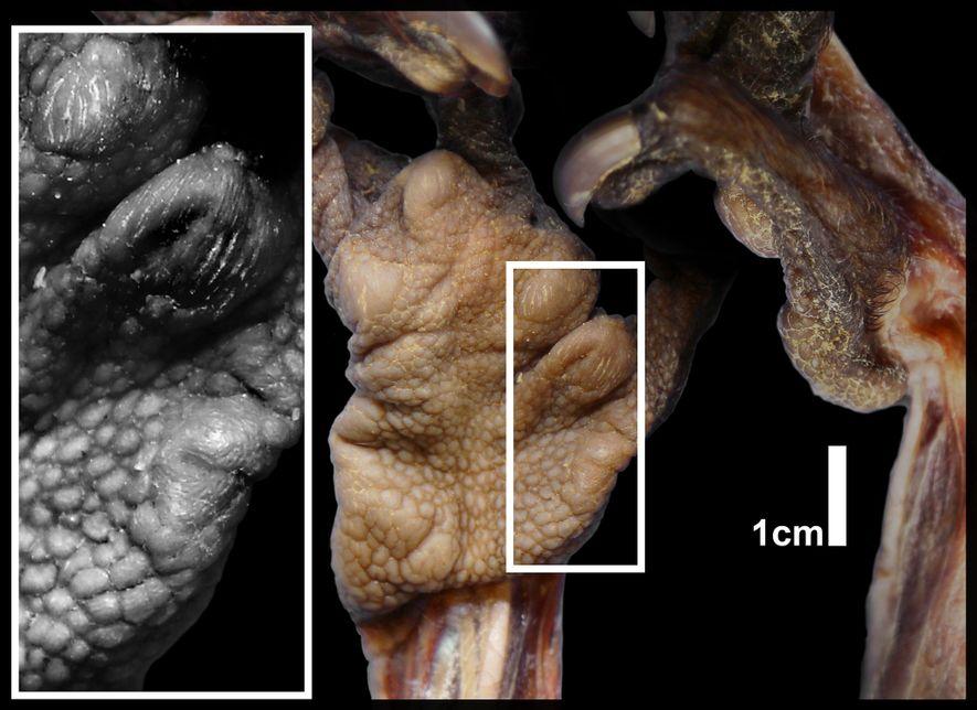 Una imagen de cerca muestra la almohadilla carnosa sobre el pseudopulgar del aye-aye.
