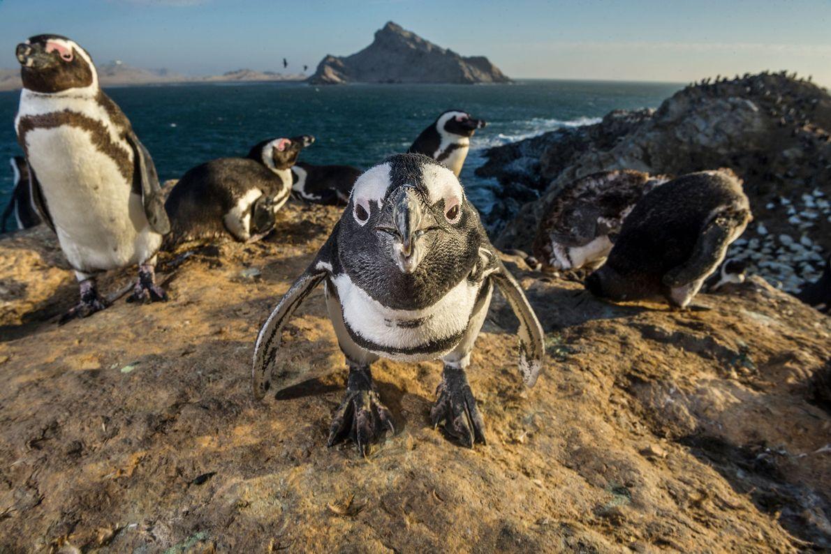 Pingüinos africanos. Isla Mercury, área marina protegida de las islas de Namibia, Namibia.