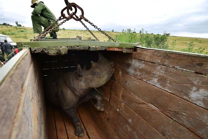 Transportar rinocerontes es una tarea complicada y riesgosa. Los rinocerontes se sedan y examinan para poder ...