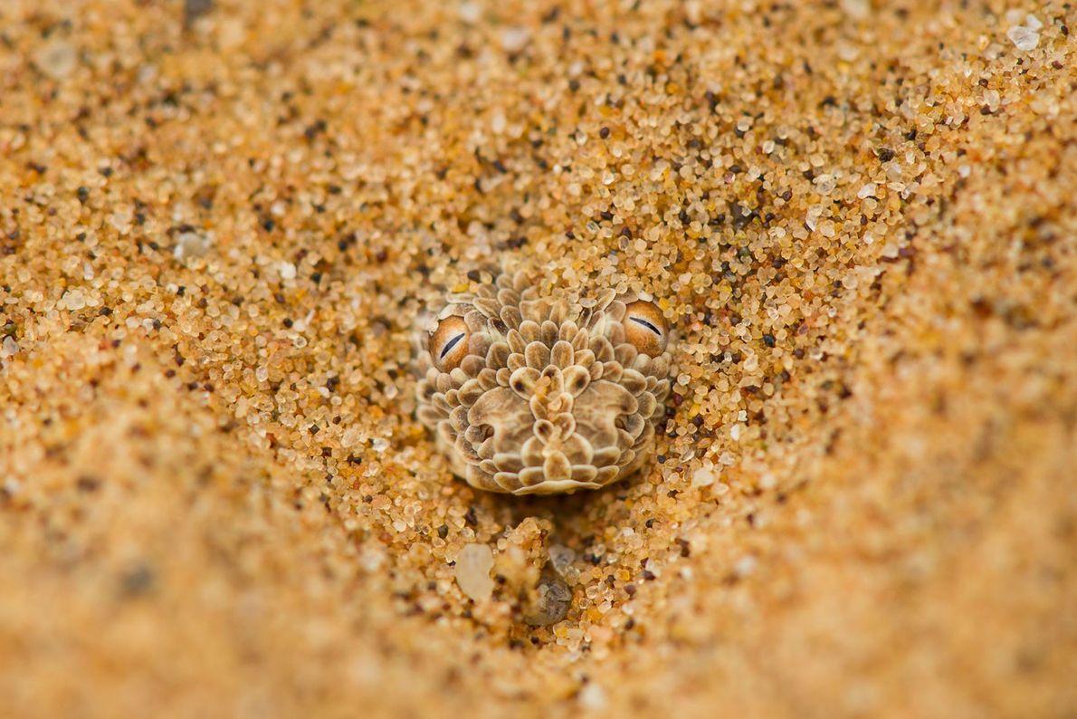 Víbora del desierto de Namibia.