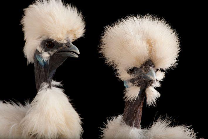 Estos pollos, pertenecientes a la raza Silkie o Sedosa, también son negros por dentro y por ...