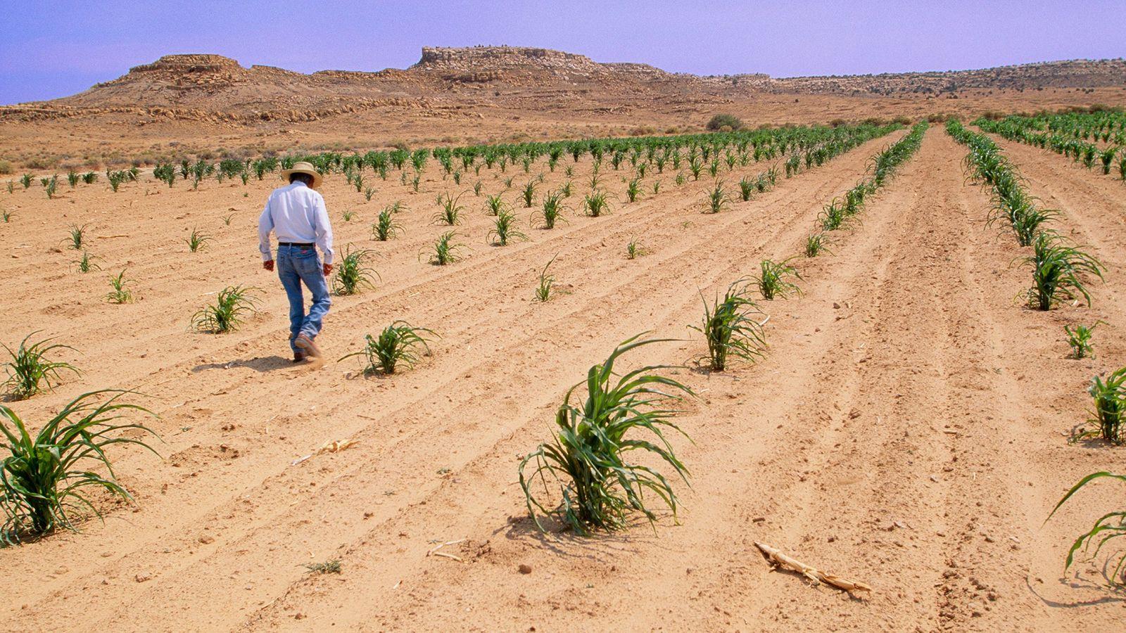 Un agricultor de la Reserva Indígena Hopi en Arizona inspecciona sus cultivos de maíz en medio ...