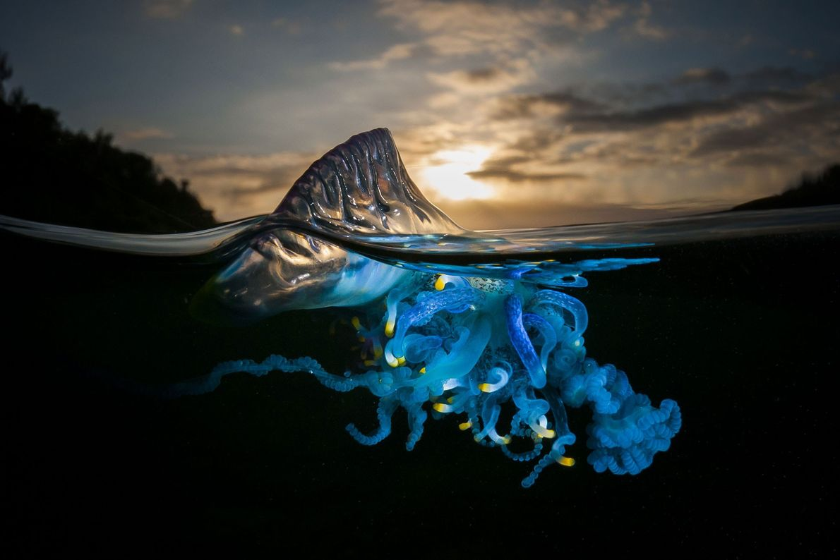 Carabela portuguesa. Shell Cove, Nueva Gales del Sur, Australia
