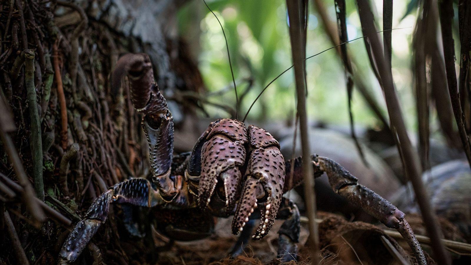 Un cangrejo cocotero en la isla Nikumaroro.