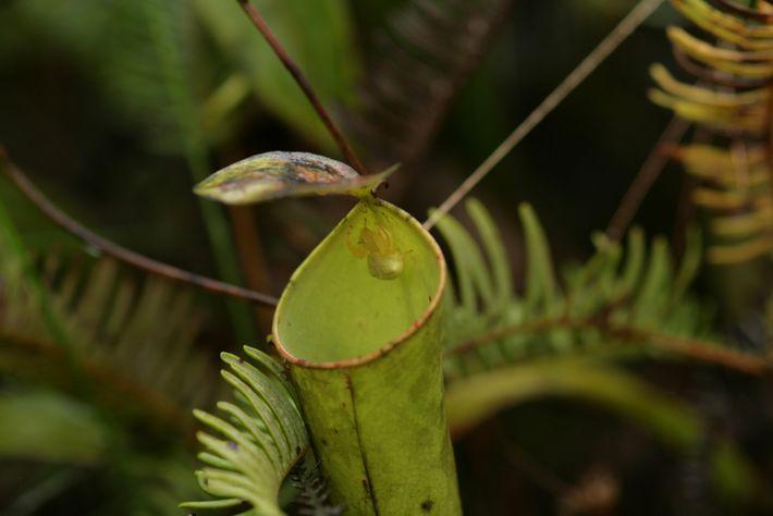 "Una araña cangrejo hembra adulta ""Thomisus nepenthiphilus"" espera la visita de insectos en la boca de ..."