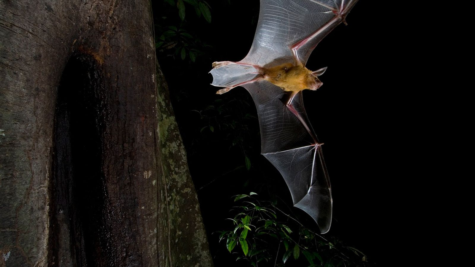Los murciélagos, como este murciélago pescador que toma peces con las patas, suelen ser criaturas de ...
