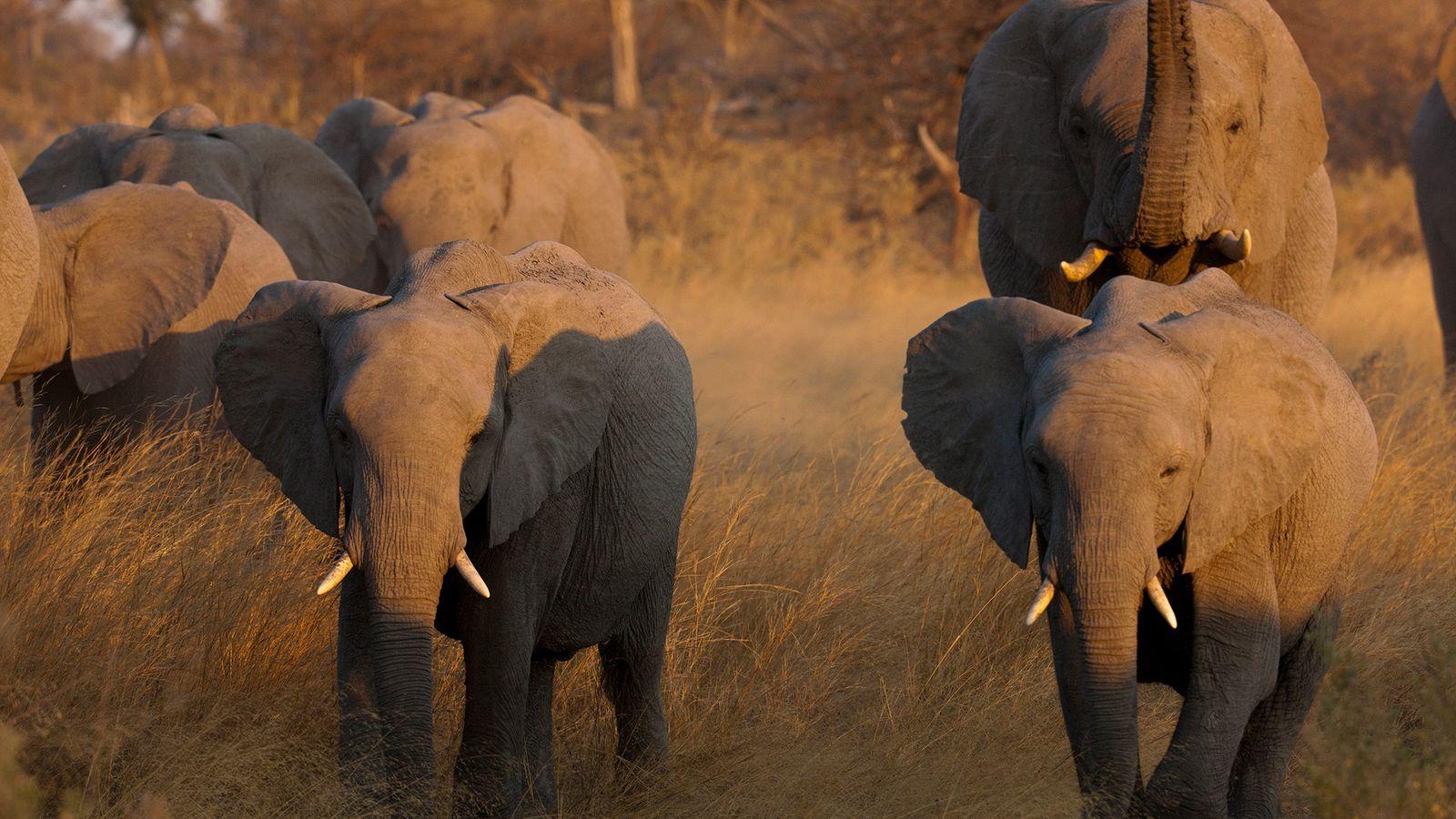 Continúa la caza furtiva de los elefantes africanos por sus colmillos. Los nuevos datos muestran que ...