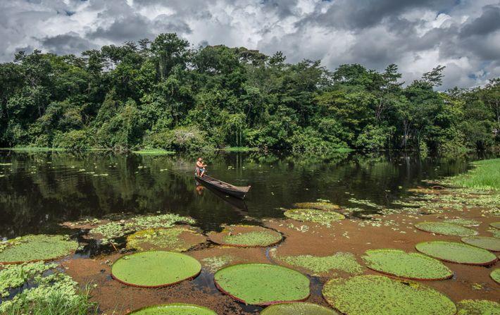 Un residente avanza con su canoa entre los lirios de agua en el río Croa, en ...
