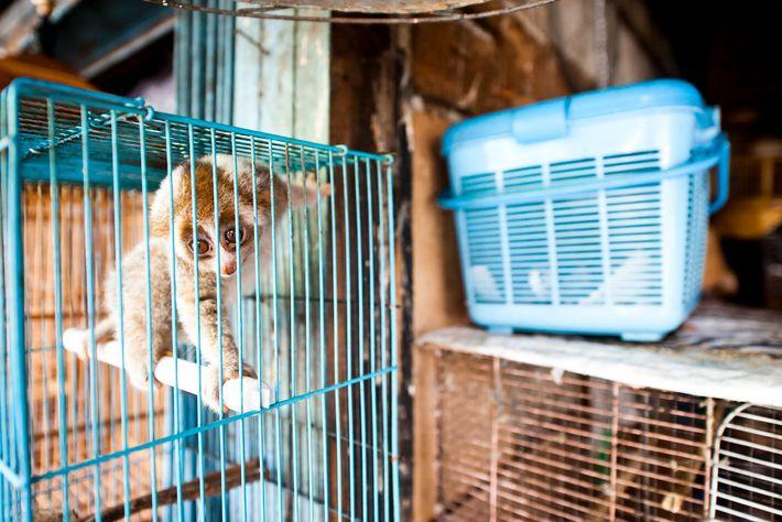 Si bien está protegido por ley, el loris perezoso se vende abiertamente en el mercado Borito ...