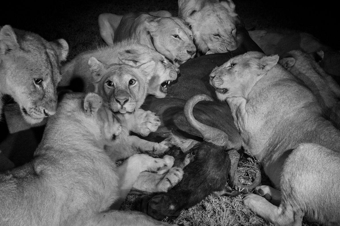 Las hembras adultas y los grandes cachorros de la manada Vumbi se dan un festín con ...