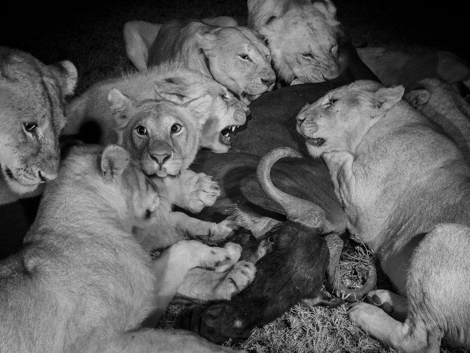 Leones: una vida en manada