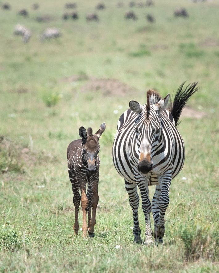 En esta foto reciente, Tira camina por la reserva nacional Masai Mara con su madre.