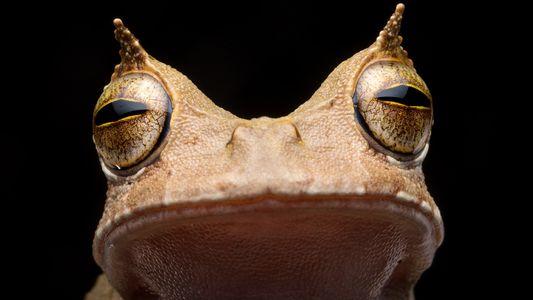 Reaparece en Ecuador una rana marsupial cornuda que se creía extinta