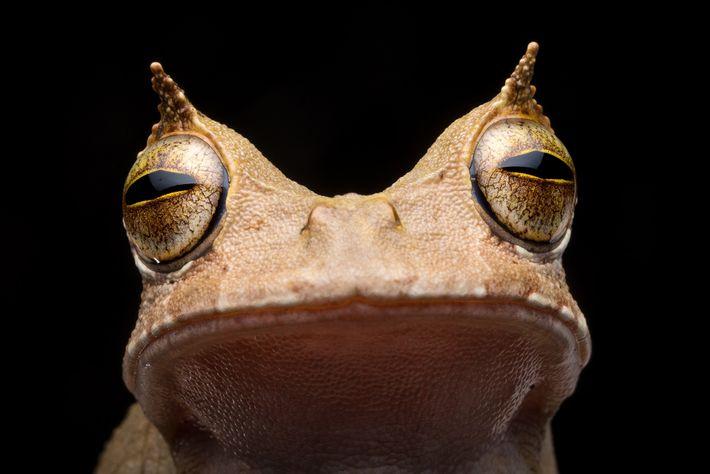 """La rana marsupial cornuda había dejado de verse en Ecuador desde 2005. Sus """"cejas"""" con forma ..."""